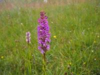 A fragrant orchid